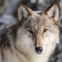 Wolfsnag